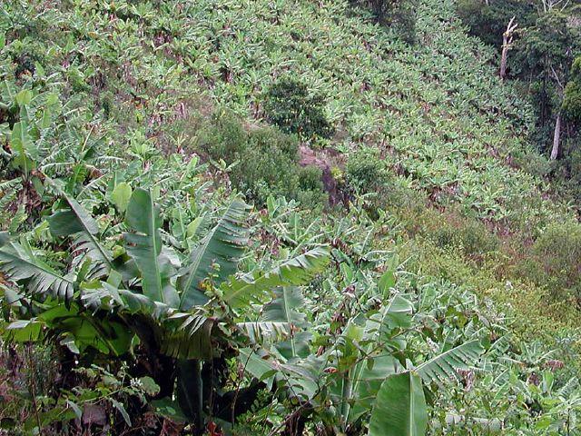 bananeraie de l'île Maurice