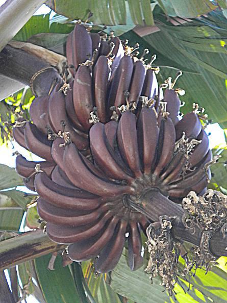 bananes grenat à la réunion