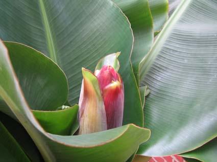 Musa acuminata en floraison en Belgique