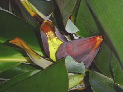 Musa acuminata en floraison à Paris