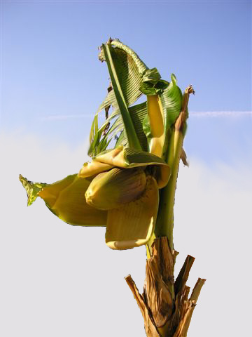 MUSA BASJOO: un bananier rustique (culture, protection en hiver, pot ...
