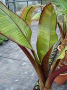 Bananier à grande croissance