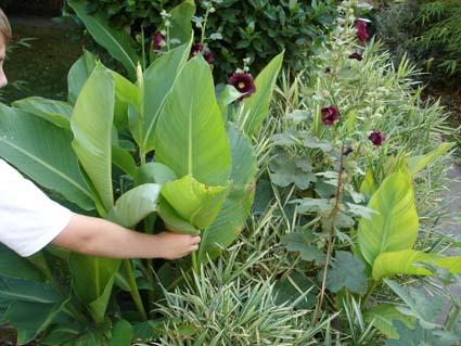 variété rustique utilisé pour sa feuille ornementale de canna ayant resisté à -15°C