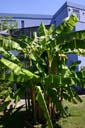 Musa basjoo au jardin