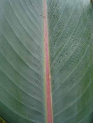 Une feuille verte à nervure souvent rose