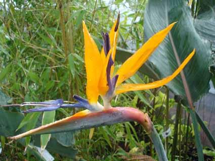 fleur de strelitzia en été